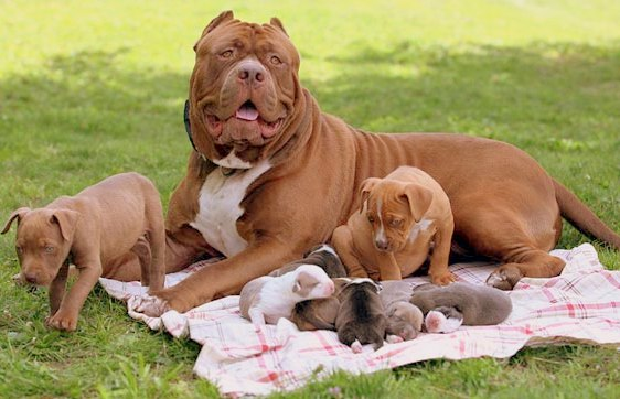 How Many Puppies can a Pitbull Dog Have?