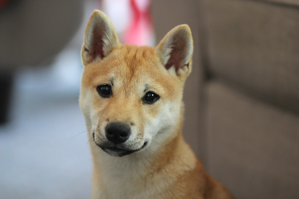 How Much Do Shiba Inus Puppies Cost Petshaunt