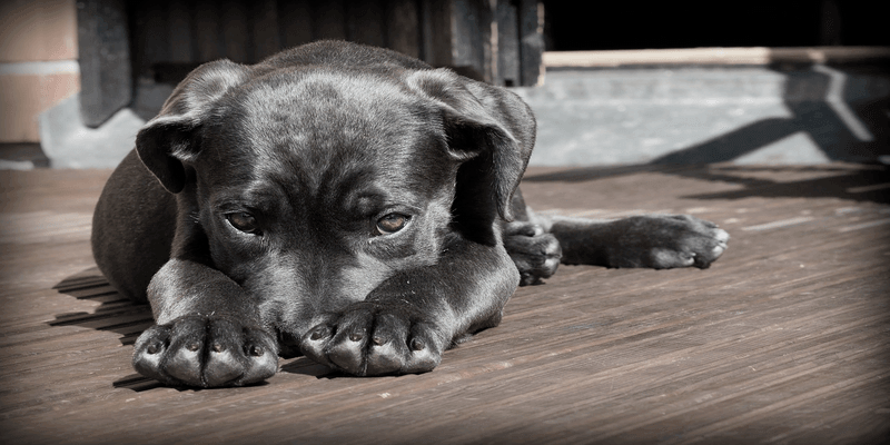 Dog Congestive Heart Failure When to Put Down