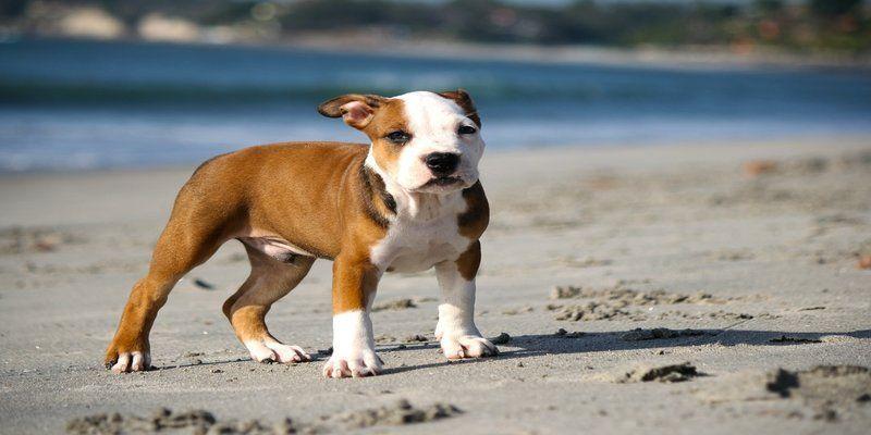 When should I start training my pitbull puppy