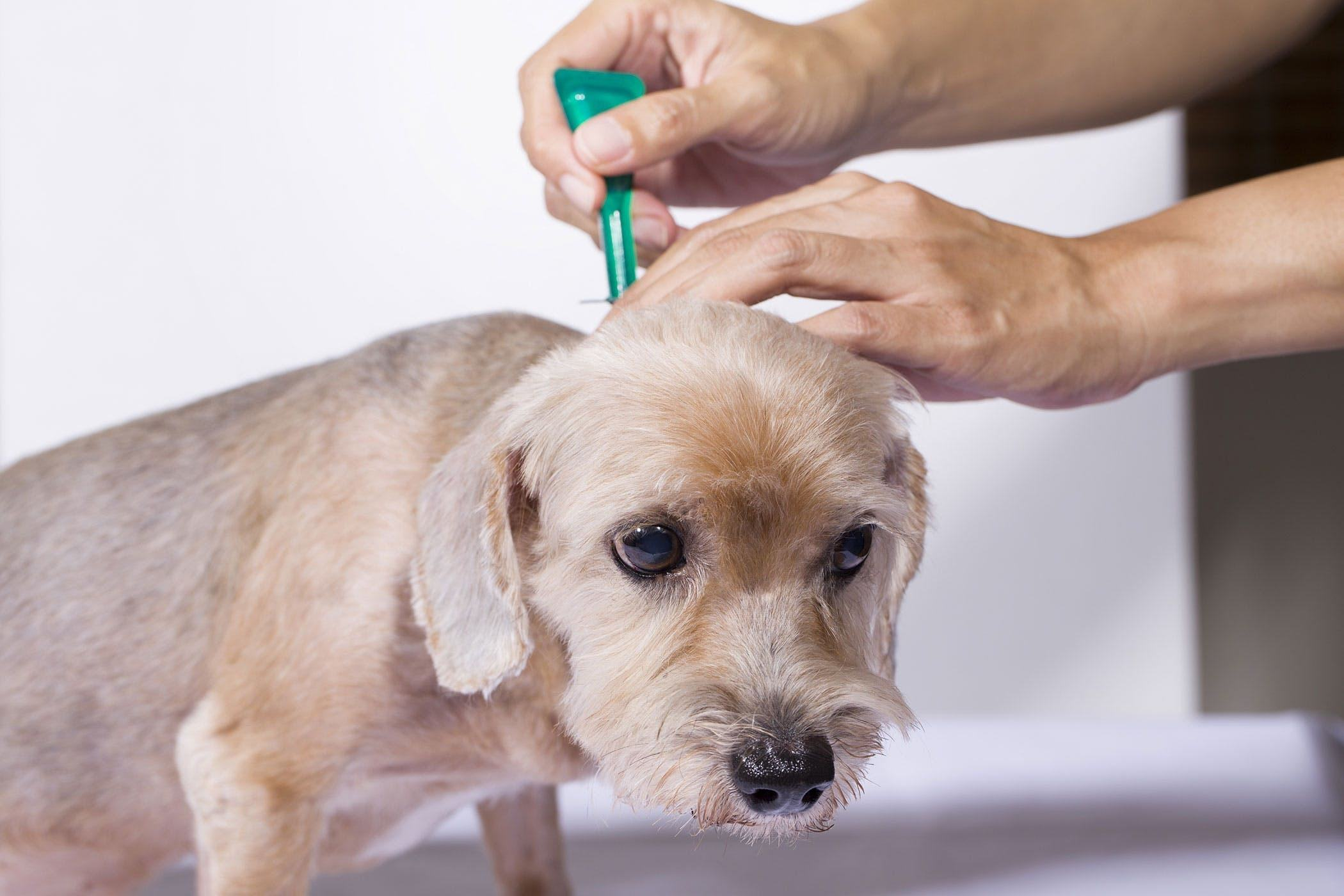 symptoms of fleas on your dog