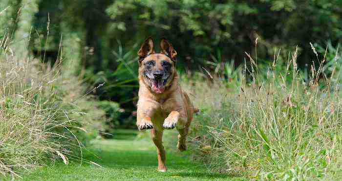 How To Train A German Shepherd Puppy At Home
