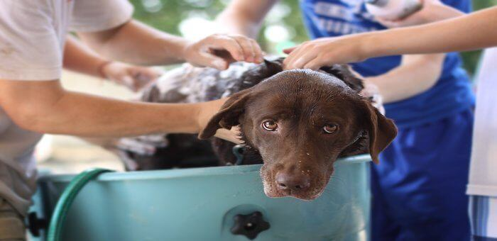 how often should you bathe your dog with fleas