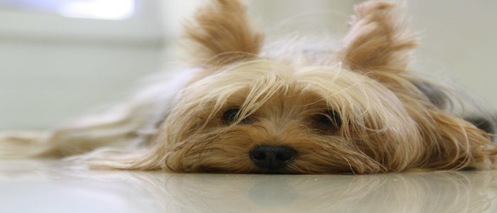Yorkie Health Problems Symptoms