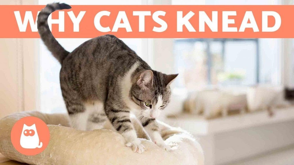 How to Stop a Cat from Kneading