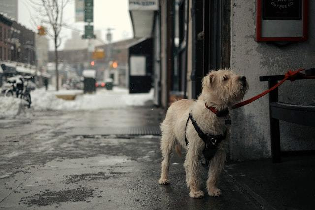 How to Choose the Right Dog Harness for Terriers